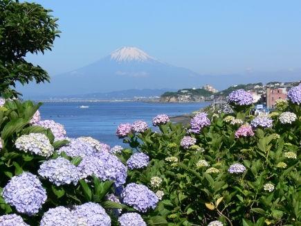 アジサイに染まる富士0616tb
