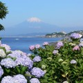 Photos: アジサイに染まる富士0616tb
