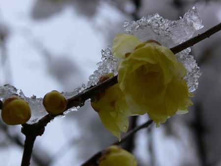 雪と蝋梅2006a