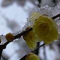 Photos: 雪と蝋梅2006a