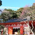 Photos: 荏柄天神社紅梅0127tb