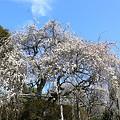 写真: 枝垂れ梅の大木