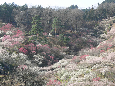 梅の公園2、吉野梅郷2008!