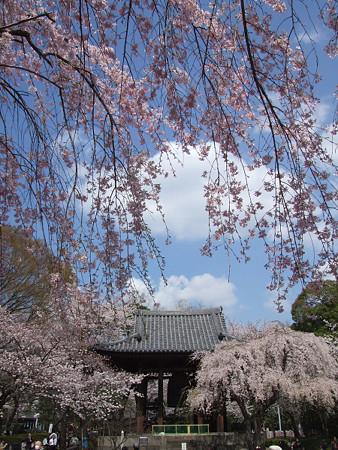 枝垂れ桜増上寺0327tb
