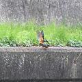 写真: 090328カワセミの交尾(2/10)