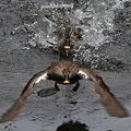 写真: 090507カルガモの喧嘩(5/5)
