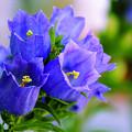 写真: 青い花1