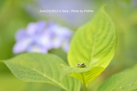 世羅 康徳寺の紫陽花(2)