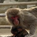 親子猿(1)