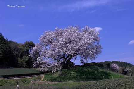 吉田の百年桜