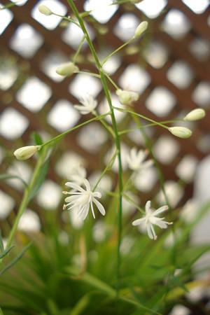 花セキショウ