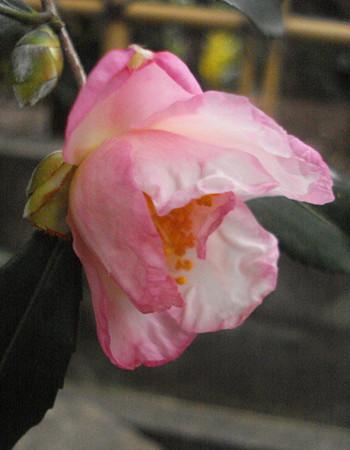 山茶花も咲いて…