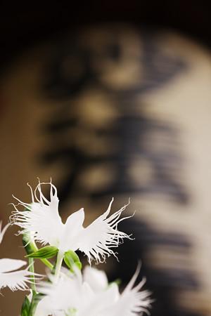 妙法寺の鷺草