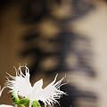 写真: 妙法寺の鷺草