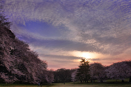 朝焼けと桜