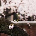 Photos: 桜咲く道