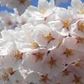 思い出の桜 in 千光寺山