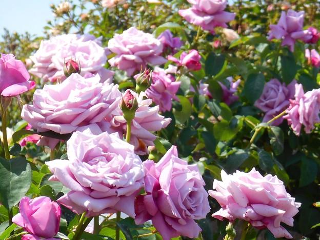 五月の薔薇たち~シャルルドゴール~
