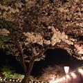 夜桜風になびく