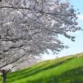 ここちよい桜並木
