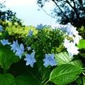 花美(はなび)葉の上で咲く