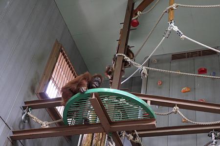 旭山動物園(オランウータン)