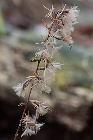 オクモミジハグマの花後