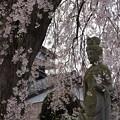Photos: しだれ桜 C04098