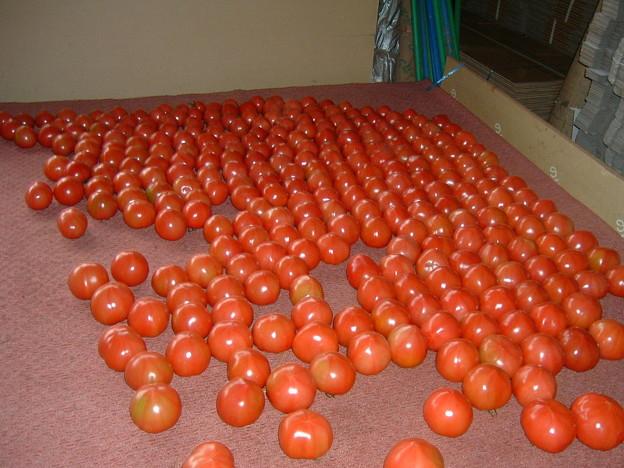 トマト農家発見