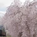 写真: 満開の八重桜に見送られて #真岡鉄道 茂木-天矢場 2014/04/20