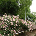 2014.5.25大井戸公園バラ園