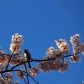 写真: ~桜 しずか~