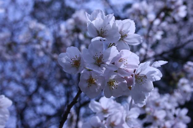 はちまんさんの桜1