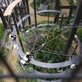 写真: 到津の森(2)エリマキキツネザル