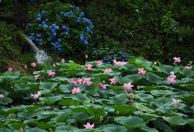 古代蓮「大賀ハス」と紫陽花
