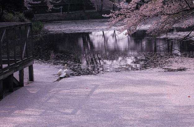 Photos: 最後のお花見 花筏に乗って