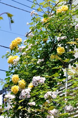 ゴールドバニー2014_05_24