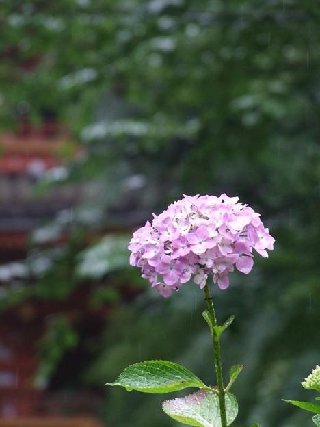 Photos: あじさい寺