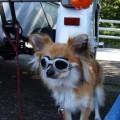 Photos: サイドカーに犬  4