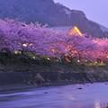 夕暮れになって河津町の河津桜ライトアップへ。。