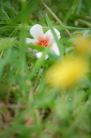 落ち花と咲く花
