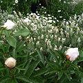 Photos: 090504 バラ。芍薬ラベンダー