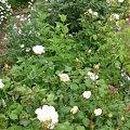 Photos: 090505 白いバラの庭