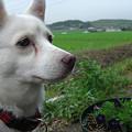 写真: 犬らしい表情のましろちゃん