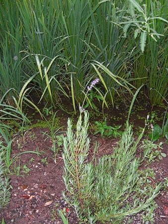 くろいぬのお墓の脇に植えたラベンダー、いつの間にか咲いてました