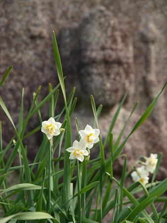 水仙と石仏(3)