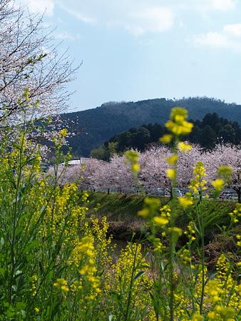 303_宇陀川の桜
