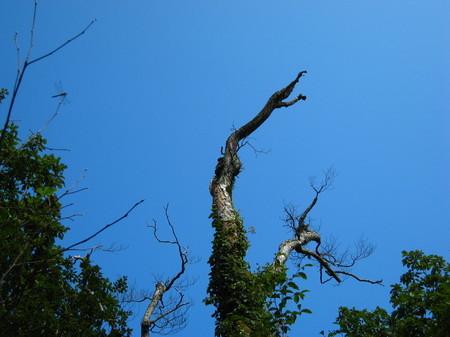 立枯れした木