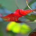 写真: 南天の葉です^^