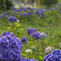 写真: 紫陽花 ご近所編 09